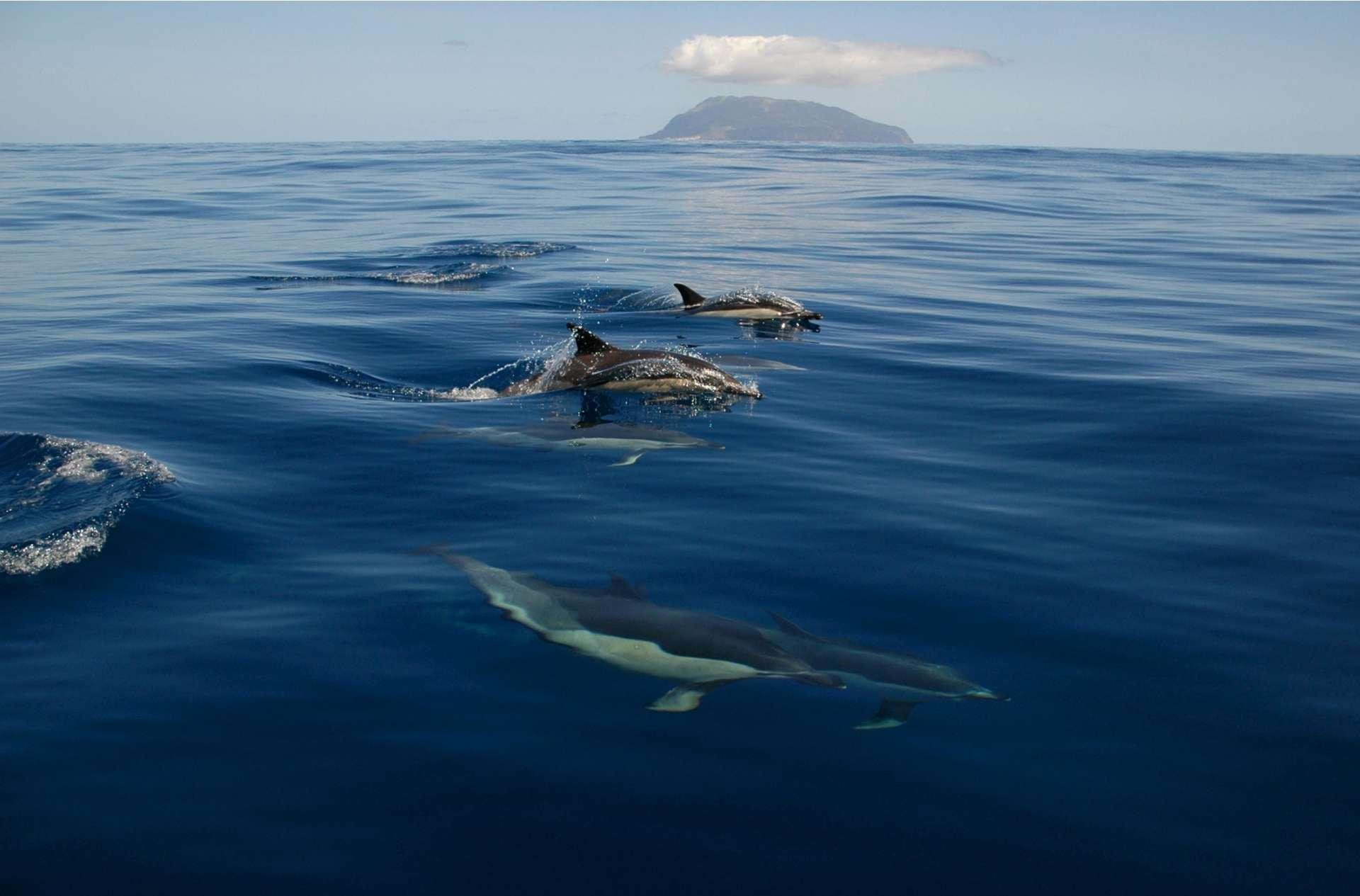 Pas moins de 27 espèces ont été répertoriées autour des îles des Açores, dont des espèces migratrices, et des espèces résidentes.