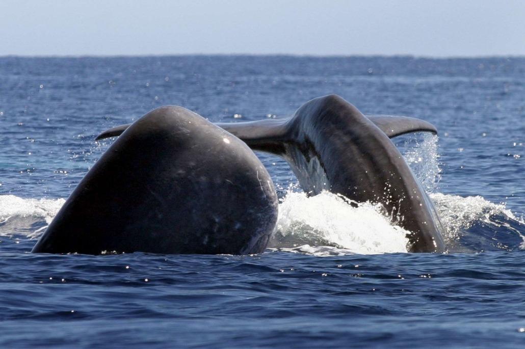 Observer les baleines à bord d'un zodiac depuis l'île de Pico